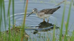 Sharp clip of Greater Yellowlegs making ripples in water on swamp shoreside