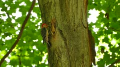 Multiple shots of woodpecker with red head creeping and hoping on tree trunks