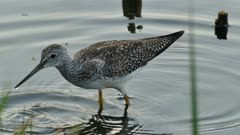 Close Up of Greater Yellowlegs shorebird plunging its long beak in water