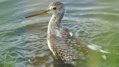 Sharp closeup of Yellowlegs bird bathing and splashing in water