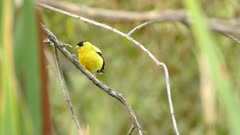 Gold Finch perched on same branch as a snail takes off and flies away