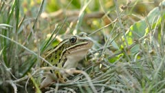 Frog's throat moving fast during breathing while on the ground in grass