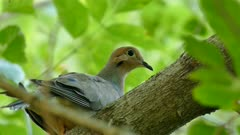Closeup of dove perched on large tree branch in deciduous forest