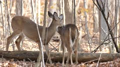Deers bending necks around each other to clean fur while standing