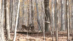Wide autumn shot of pair of deer helping one another to groom