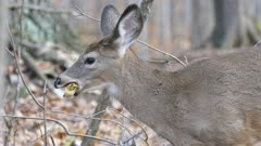 Side view of upper deer body chewing and eating leaf on blurry background