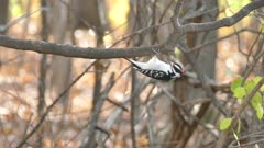 Hairy woodpecker hanging down from branch before flying away