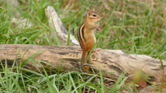 Chipmunk standing on log with grass grooms by using paws on face