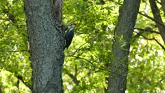 Pileated woodpecker investigating mature tree in search of food