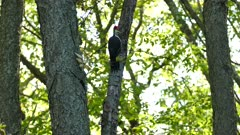 Large woodpecker jumping back and forth from one branch to the other