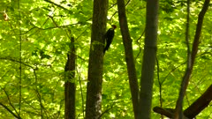 Pileated woodpecker perched and flies away in bright deciduous forest