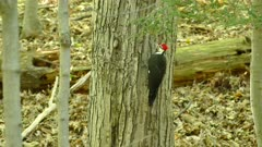 Woodpecker standing low on tree side with black squirrel in background
