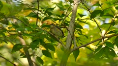 Closeup shot of yellow rumped warbler hopping in tree in sun