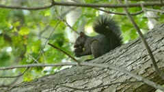 Black squirrel feeding on large black nut while perched in tree