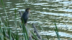 Cormorant perched on dead branch with water in background