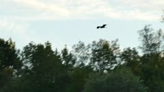 Lengthy tracking shot of great blue heron in flight during sunset