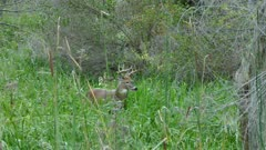 Deer buck walking anxiously in lush marshlands while looking at camera
