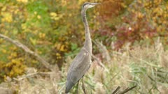 Great blue heron perched before taking off and flying away within frame