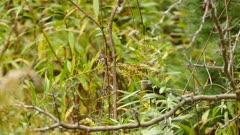 Medium shot of golden crowned kinglet feeding on small green twigs