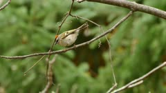 Tracking sequence of rapidly moving golden crowned kinglet in the wild