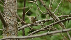 Golden crowned kinglet hoping and moving fast from one branch to another