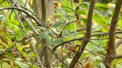 Zoom-in shot of golden crowned kinglet moving to fast to track in light wind