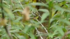 Sharp detailed shot of golden crowned kinglet perched and flying off