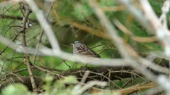 White crowned sparrow standing on branch with blurry background