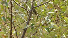 Tracking shot of golden crowned kinglet jumping and hopping in tree