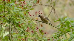 Closeup of cedar waxwing feeding on red berries in moderate wind