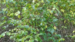Wide shot of berry shrub with kinglet bird jumping quickly within frame