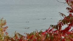 Group of Canada geese traveling slowly on lake with red leaves around