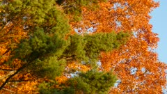 Color contrast between green pine tree and orange tree in fall