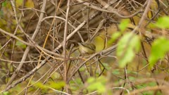 Tracking shot of pine warbler on blurry fall color background