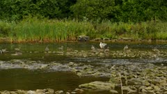 Wide variety of ducks resting in pretty shallow river near forest line