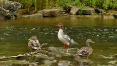 Female common merganser preening her breasts feathers on stone in river