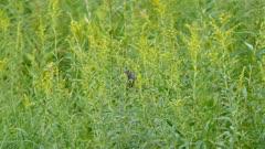 Bird hiding in tall flowery grass eventually hops and flies away