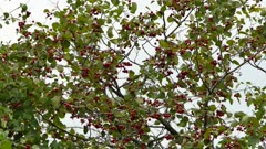 Family of gold finches in autumn color plumage fly away from red berry tree