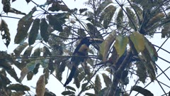 Collared Aracari (Pteroglossus Torquatus) feeding in a tree at dawn