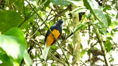 White-Tailed Trogon (Trogon Chionurus) moving its head slowly in all directions