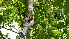 Cinnamon Woodpecker (Celeus Loricatus) pecking on a tree and searching for prey