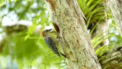 Yellow-Crowned Woodpecker (Leiopicus Mahrattensis) pecking on large hole in tree