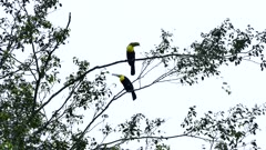 Pair of Keel-Billed Toucan (Ramphastos Sulfuratus) perched in a tree with one broken bill