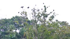 Dozens of Turkey Vulture (Cathartes Aura) stretch and dry up their wings