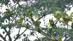 Orange-Chinned Parakeet (Brotogeris Jugularis) grooming in numbers