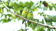 Orange-Chinned Parakeet (Brotogeris Jugularis) closeup of pair