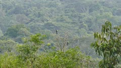 Pair of Keel-Billed Toucan (Ramphastos Sulfuratus) perched with wide jungle in background