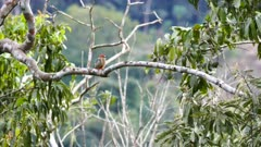 Small woodpecker grooming on blurry background