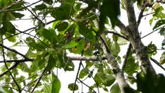 Colorful toucan foraging in tropical tree