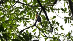 Collared Aracari perched in broad leaf tree